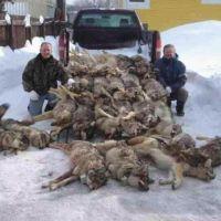 Massmord på varg.