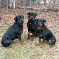 Rottweiler ingen förstagångshund