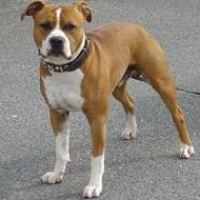 Kamphund = muskelhundar?