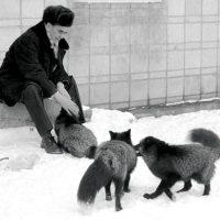 Tamhunden - forskning om rävar och vargar.