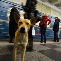 Ryska gatuhundar åker tunnelbana till maten