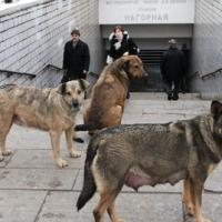 Gatuhundar och deras flockar i storstaden Moskva