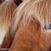 Hampans effekt på häst.