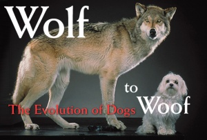 wolf to dog