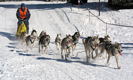 An 11-dog team of Siberian Huskies in Frauenwald, Thuringia, Germany, 2012