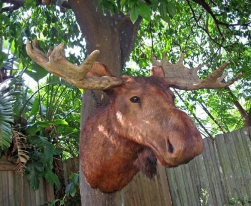 Moose-Head-1-lg