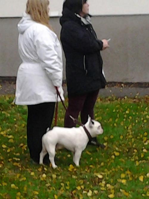 Iscensatt hundmöte med hjälp av fransk bulldog - tack för hjälpen!