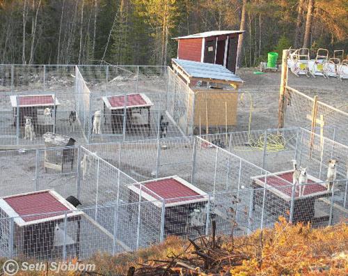 Hundarna tittar upp mot huset. Vi hade 30 hundgårdar. En hundgård = mindre avdelad inhägn med  hundkoja.