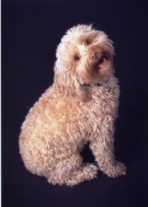 http://upload.wikimedia.org/wikipedia/commons/b/b3/Cockapoo1.jpg