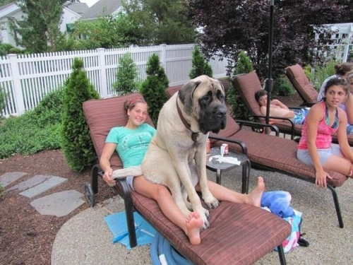 stor hund