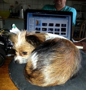 Egen kudde på hedersplats. Hon somnar ibland på sin post. Men det får hon, enligt Hundarnas Fackförbund. /Foto Victoria Qvarnström