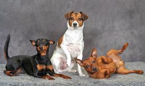 Vissa hundar poserar gärna, speciellt de med starka karaktärer. /Foto Micke Cronier