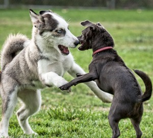 dog fight play