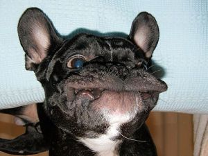 dog frenchie
