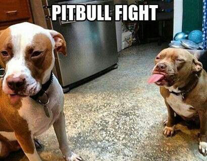 dog-pitbull-figt