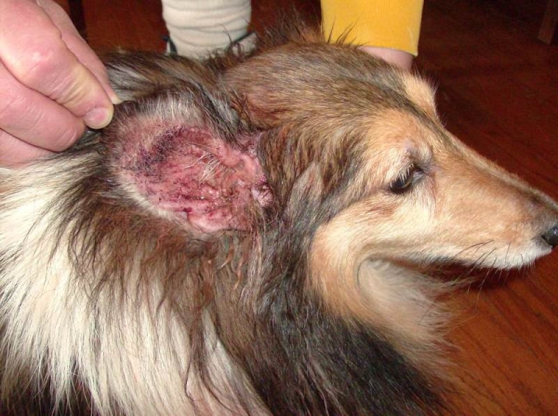Home Remedies For Controlling Fleas On My Dog