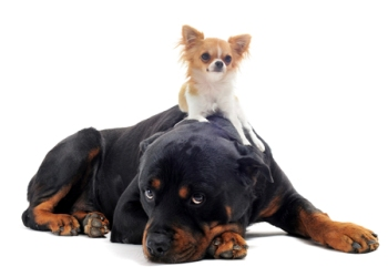 http://www.dreamstime.com/royalty-free-stock-photo-rottweiler-puppy-chihuahua-image22321855