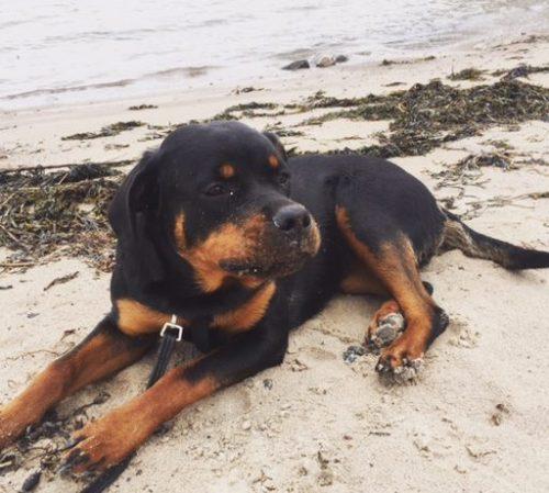 Valpen Bella på stranden