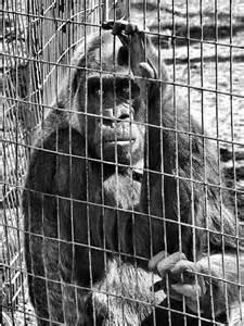 sad-gorila