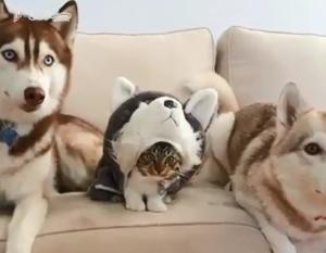"""En """"kattbädd"""" liknande den här """"hatten"""" kanske finns som ett rottweilerhuvud?"""