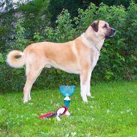 Anatolisk herdehund ägarna om problemen - Seth besöker