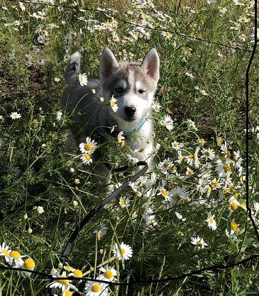 gaija blommor
